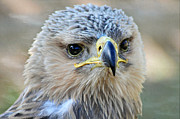 Bev  Brown - Tawny Eagle