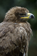 Eagle Metal Prints - Tawny Eagle Metal Print by Heiko Koehrer-Wagner