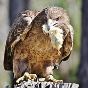 Tawny Eagle With Chicken Dinner Print by Paulette  Thomas