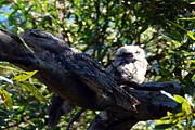 Glen Johnson - Tawny Frog Mouths Owl