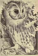 Audubon Drawings Posters - Tawny Owl Poster by Philip Ralley