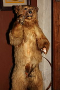 Whimsy Photos - Taxidermy Bear In The Cellar Room At the Swiss Hotel Sonoma California 5D24447 by Wingsdomain Art and Photography