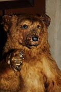 Cellar Posters - Taxidermy Bear In The Cellar Room At the Swiss Hotel Sonoma California 5D24448 Poster by Wingsdomain Art and Photography