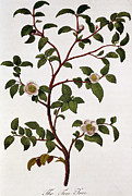 Wild-flower Drawings Posters - Tea Branch of Camellia sinensis Poster by Anonymous