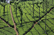 Factory Photos - Tea plantation at High Field Tea Factory in Coonoor India by Robert Preston