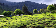 Tea Tree Framed Prints - Tea Plantation Framed Print by Charline Xia