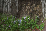 William Fields Metal Prints - Tears Among the Bluebells Metal Print by William Fields