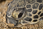 Green Sea Turtle Photos - Teary-Eyed by Douglas Barnard