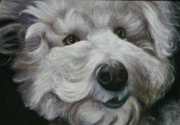 Melinda Saminski Metal Prints - Teddy the Bichon Metal Print by Melinda Saminski
