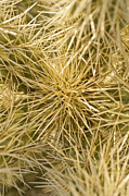 Joel Moranton - Teddybear Cholla close up