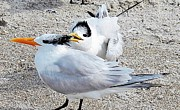 Talking Paintings - Telling Secrets Royal Terns by Judy Via-Wolff