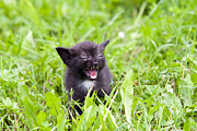 Furious Framed Prints - Temper - Small Kitten In The Grass Framed Print by Michal Boubin