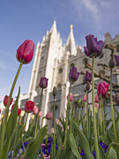 Salt Lake Prints - Temple Tulips Print by Chad Dutson