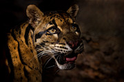 Clouded Leopard Posters - Tenacious Embers Poster by Ashley Vincent