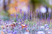 Jenny Rainbow - Tender Lavender