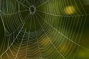 Spider Web Posters - Tender Web Poster by Christina Rollo