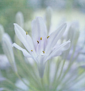 Agapanthus Metal Prints - Tenderly Metal Print by Kim Hojnacki
