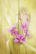 Soft Pink Metal Prints - Tendresse Metal Print by Priska Wettstein