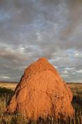 Termite Mound, Exmouth, Australia. Print by Science Photo Library