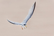 Flying Birds Prints - Tern Print by Bill  Wakeley