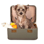 Terrier Dog In Suitcase Print by Susan  Schmitz