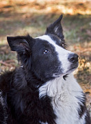Border Collie Photos - Tessie 2 by Rich Franco