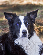 Border Collie Photos - Tessie 3 by Rich Franco