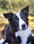 Border Collie Photos - Tessie 4 by Rich Franco