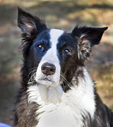Border Collie Photos - Tessie 5 by Rich Franco