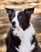 Border Collie Photos - Tessie 6 by Rich Franco