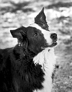 Border Collie Photos - Tessie 7 by Rich Franco