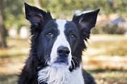 Border Collie Photos - Tessie Good Girl by Rich Franco