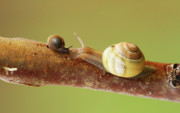 Snails Photos - Tete a tete by Mircea Costina Photography