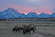Bison Mixed Media Framed Prints - Teton Bison Framed Print by Frank  Vargo