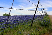 Carrie OBrien Sibley - Texas Bluebonnet field