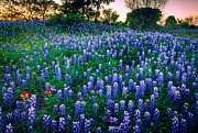 Bluebonnet Wildflowers Posters - Texas Bluebonnet Field Poster by Inge Johnsson