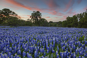 Wild Flowers Of Texas Framed Prints - Texas Bluebonnet Images - Evening in the Texas Hill Country 1 Framed Print by Rob Greebon