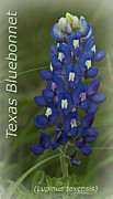 Ladybird Photos - Texas Bluebonnet by Robert Frederick