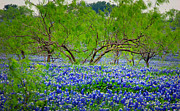 Blue Bonnets Prints - Texas Bluebonnets - Texas Bluebonnet Wildflowers Landscape Flowers Print by Jon Holiday