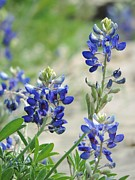 Robert ONeil - Texas Bluebonnets 01
