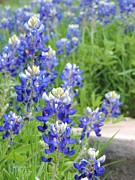 Robert ONeil - Texas Bluebonnets 02