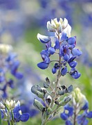 Robert ONeil - Texas Bluebonnets 04