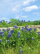 Robert ONeil - Texas Bluebonnets 07
