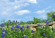Robert ONeil - Texas Bluebonnets 08