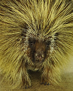 Cherie Haines - Texas Brown Porcupine