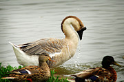 Goose In Water Posters - Texas Goose Poster by Tracy Smith