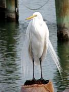 Texas Great White Egret Print by Linda Cox