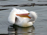 Water Bodies Of Texas Prints - Texas Gulf Coast White Pelican Print by Linda Cox
