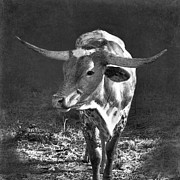 Bos Bos Posters - Texas Longhorn # 5 Poster by Betty LaRue