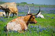 Long Horn Cow Photos - Texas Longhorn by Allen Biedrzycki